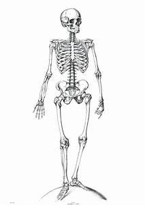 Diagram  The Human Skeleton Diagram Fill In Blanks