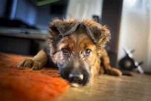 best dog food for german shepherd puppies healthy With german shepherd dog food