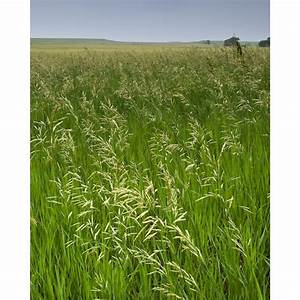 Bromegrass, Smooth - Farm Seeds - Grass Seed - Products ...