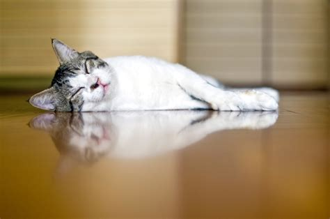 will cats on hardwood floors what is the best type of flooring for pets
