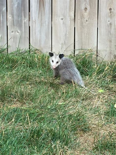 Possum Backyard by Overview For Scamz