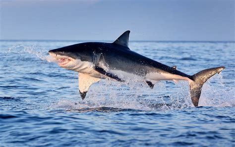 Great White Shark Jumping Out Of Water Wallpaper Great White Shark Jumping Out Of Water Hd Wallpaper Wallpapers13 Com