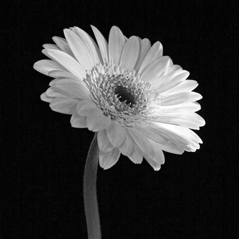 Still White Still Life Photography Black And White Flowers Www