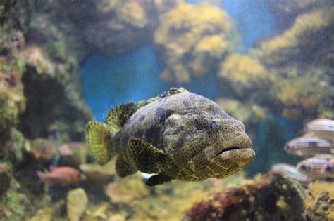 brown grouper spotted aquarium