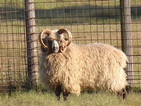 rare sheep breeds dirt simple