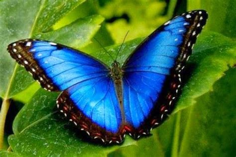 la increible mariposa morpho menelaus azul parque