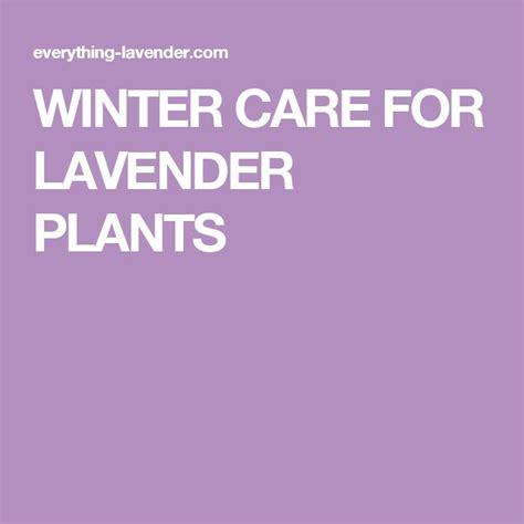 lavender care and maintenance 1000 ide tentang lavender plants di pinterest pertamanan