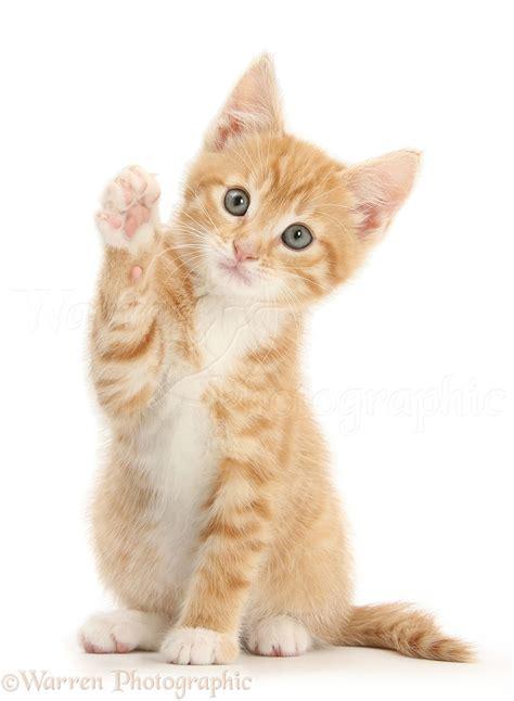 ginger kitten  raised paw photo wp