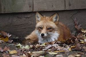 File:Red Fox, Beardsley Zoo, 2009-11-06.jpg - Wikipedia  Fox
