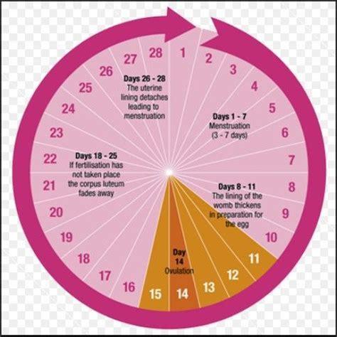 menstrual cycle menstrual cycle