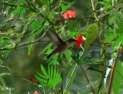 cardinal climber ipomoea x multifida kim smith designs
