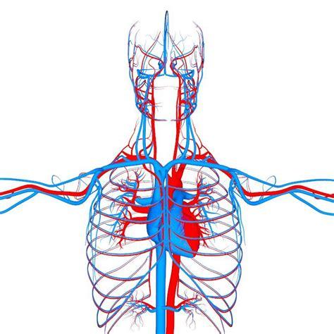 circulatory system organs anatomy  model