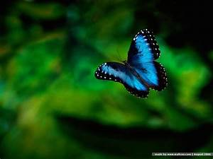 Best Blue Butterfly Wallpaper | Wallpaper ME