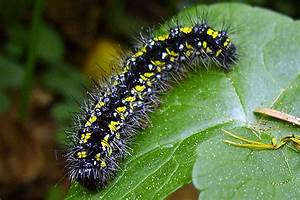 File:Callimorpha dominula caterpillar.jpg - Wikimedia Commons