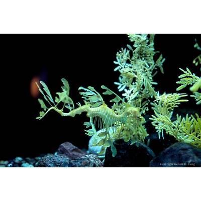 Leafy Seadragon 50848TangsPhoto Stock