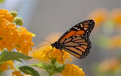 Butterfly Desktop Screen Yellow Monarch Wallpapers13 Wallpapersafari