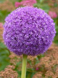 allium bulbs for sale allium giganteum gold medal