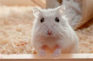 What Is 'Wet Tail' in Hamsters?