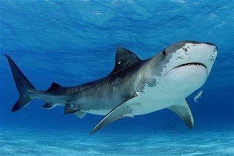 tiger shark shark facts  kids