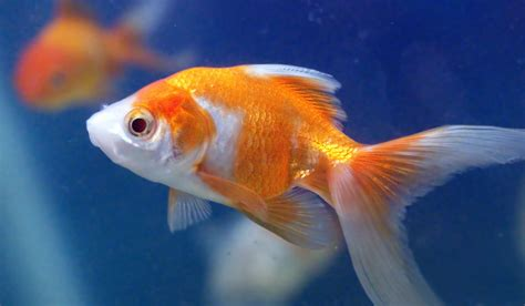 goldfish wallpapers  background pictures