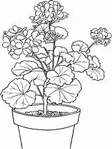 Coloring Plant Ivy Potted sketch template