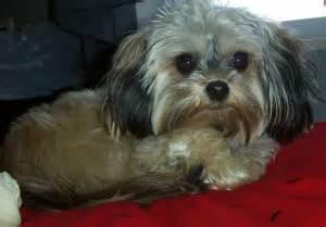 miki dog facts temperament training diet puppies pictures