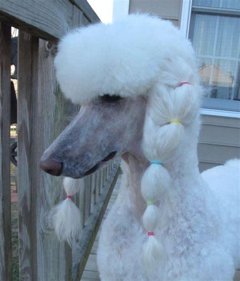 Best 25+ Poodle Haircut Styles Ideas On Pinterest