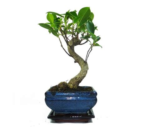 feeding fig trees in pots ficus bonsai tree in 11cm pot with drip tray