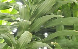 Gummibaum Lässt Blätter Hängen : drachenbaum l sst bl tter h ngen so reagieren sie richtig ~ Bigdaddyawards.com Haus und Dekorationen