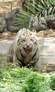 2012-07-15 Pune Zoo 25 | White Tiger (Panthera tigris ...