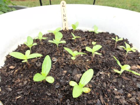 growing echinacea in pots growing flowers from seed my s mission