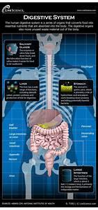 Human Digestive System - Diagram