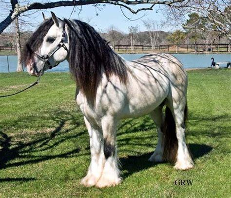horses gypsy vanner horse taskin buckskin draft stallion palomino pretty tobiano adoption rare colt buttermilk mvp vanners colors stallions gypsymvp