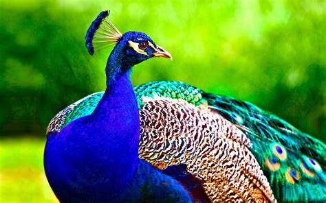 Animal And Bird Hd Wallpaper - bird 23 proudpeacock 15may2013wednesday 163256