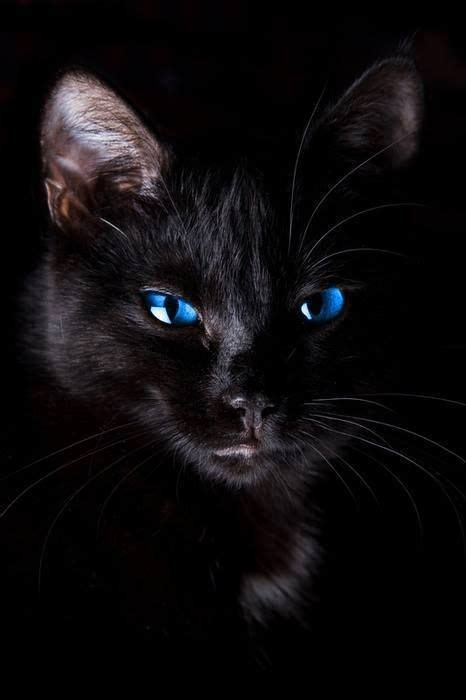 black cats with blue black cat with blue familiars the black cat