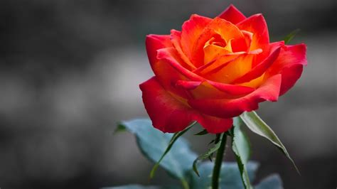 Colorful Rose Flower Wallpaper Youtube