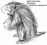 Porcupine Coloring North Drawing Animal 1950 Drawings Line Northern Printable Anatomy Biomes Google Printables Recherche Raccoon sketch template