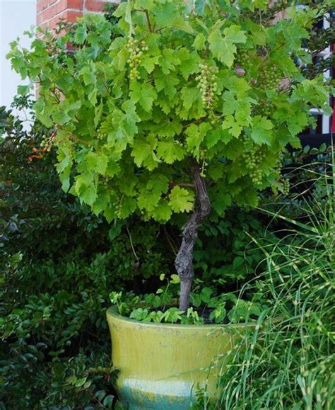 grow fruit trees  containers boo gardening