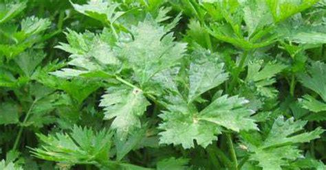 jenis daun berkhasiat obat tanaman obat