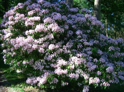 pictures of mountain laurel shrubs kalmia latifolia mountain laurel calico bush