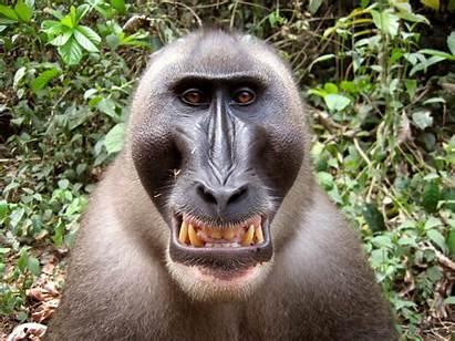 Drill Monkey Monkeys Animal Primate Mandrill Facts