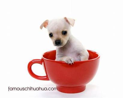 Teacup Chihuahua Puppies Chihuahuas Breeder Dogs Read