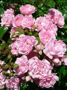 Different Types of Pink Rose Bushes