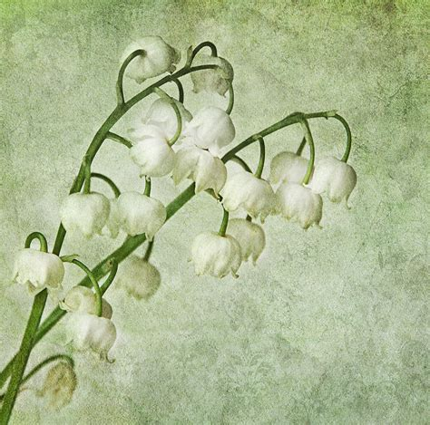 lily of the valley photograph by claudia moeckel