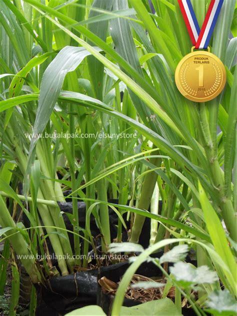 jual bibit rebung rumput odot tanaman hias