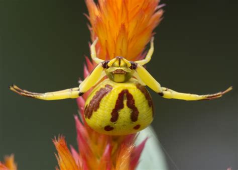 Yellow Spider Identification