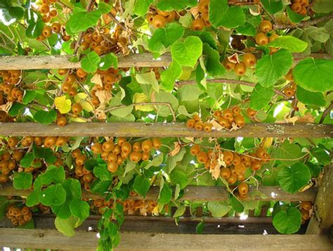 planter des kiwis en pot 19 best pergola plants climbing plants for pergolas and arbors balcony garden web