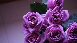 Purple Roses - Wallpaper, High Definition, High Quality ...