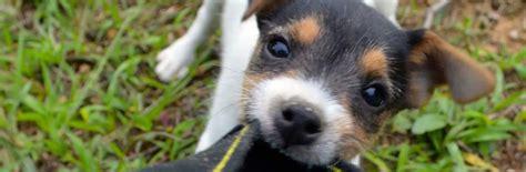 jack russell terrier jrtca grooming rough coated jack russells