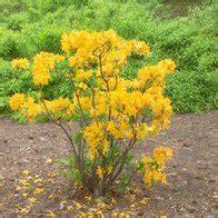 golden lights azalea azalea golden lights 7 plants plant lust seriously